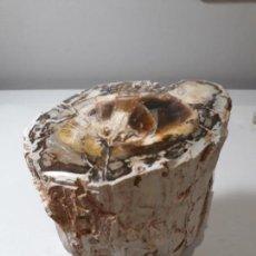 Coleccionismo de fósiles: XILOPALO PULIDO MADERA FÓSIL. 230 MILLONES DE AÑOS, TRONCO. PESO SUPERIOR A. 2 KG. Lote 140443506