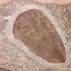Coleccionismo de fósiles: FOSIL DE TRILOBITES EURDOLATITES. ORDOVICICO MARRUECOS. PALEONTOLOGIA. GIGANTE.. Lote 140634782