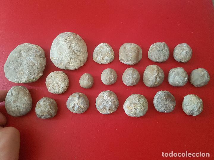 LOTE FOSIL FOSSIL 20 UDS ERIZO DE MAR EQUINODERMO ECHINOID OURSIN (Coleccionismo - Fósiles)