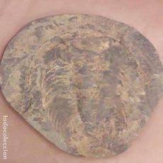 Colecionismo de fósseis: FOSIL DE TRILOBITES GIGANTE PARADOXIDES ORDOVICICO MARRUECOS. UNICO EN TODOCOLECCION.. Lote 142815194
