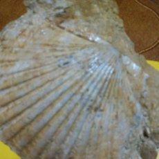 Coleccionismo de fósiles: MOLUSCO FÓSIL PECTEN BENEDITUS. Lote 144039162