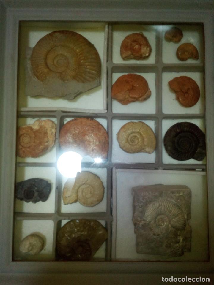 CUADRO EXPOSITOR AMMONITES FÓSIL 14 EJEMPLARES (Coleccionismo - Fósiles)