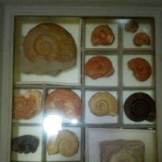 Coleccionismo de fósiles: CUADRO EXPOSITOR AMMONITES FÓSIL 14 EJEMPLARES. Lote 145993122
