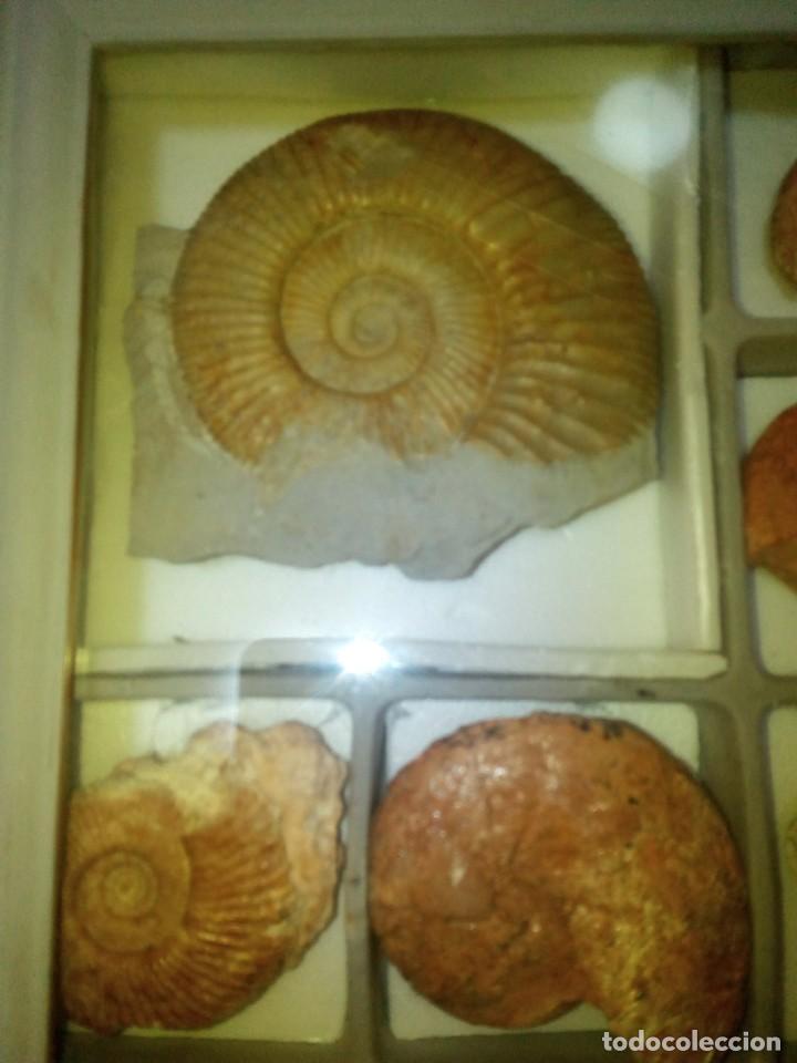 Coleccionismo de fósiles: Cuadro expositor ammonites fósil 14 ejemplares - Foto 3 - 145993122