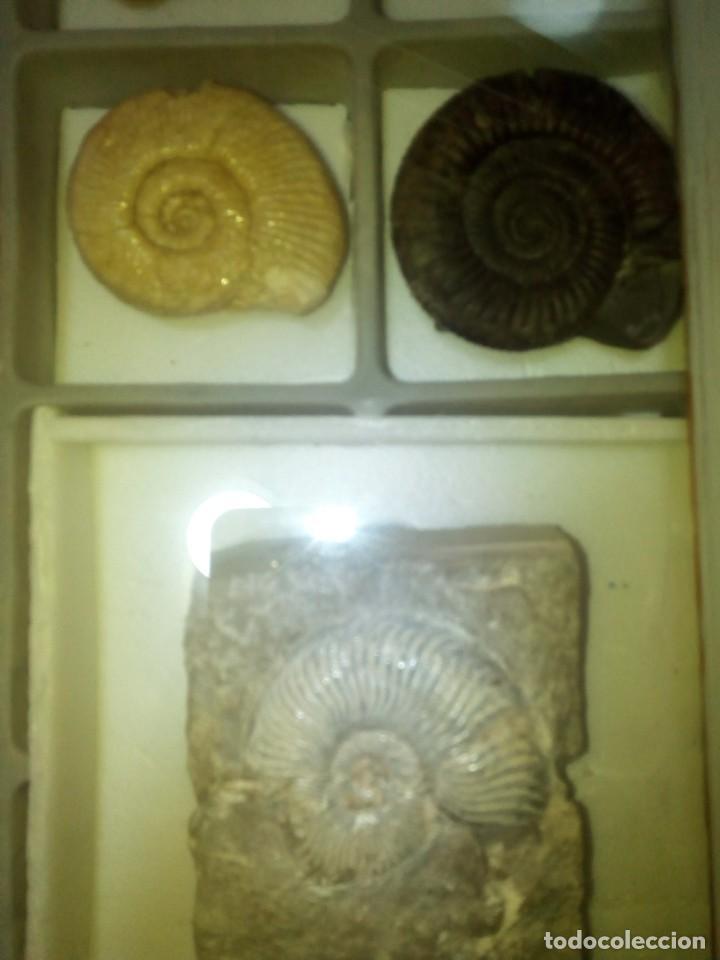 Coleccionismo de fósiles: Cuadro expositor ammonites fósil 14 ejemplares - Foto 5 - 145993122