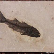 Coleccionismo de fósiles: FOSIL DE PEZ MIOPLOSUS LABRACOIDES. EOCENO. ESTADOS UNIDOS.. Lote 146876594