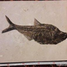 Coleccionismo de fósiles: FOSIL DE PEZ DIPLOMASTUS DENTATUS. EOCENO. ESTADOS UNIDOS.. Lote 146885326
