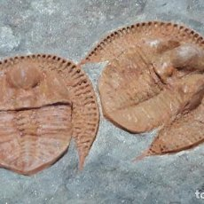 Coleccionismo de fósiles: FOSIL DE TRILOBITES DECLIVOLITHUS TITAN. ORDOVICO. MARRUECOS.. Lote 147011894