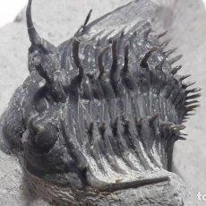 Coleccionismo de fósiles: FOSIL DE TRILOBITES COMURA BILTYNCKI. DEVONICO. MARRUECOS.. Lote 147015950