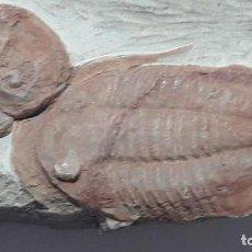 Coleccionismo de fósiles: FOSIL DE TRILOBITES ASAPHELLUS CF. JUJUANUS. ORDOVICICO. MARRUECOS.. Lote 147309778