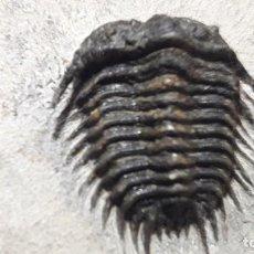 Coleccionismo de fósiles: FOSIL DE TRILOBITES GONDWANASPIS. DEVONICO. MARRUECOS.. Lote 147317782