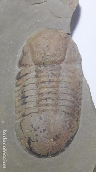 FOSIL DE TRILOBITES SYMPHUSURUS. ORDOVICICO. MARRUECOS. (Coleccionismo - Fósiles)