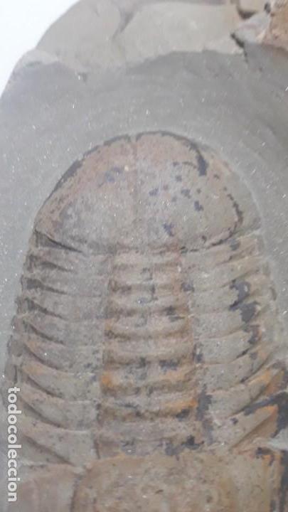 Coleccionismo de fósiles: FOSIL DE TRILOBITES SYMPHUSURUS. ORDOVICICO. MARRUECOS. - Foto 4 - 147824478