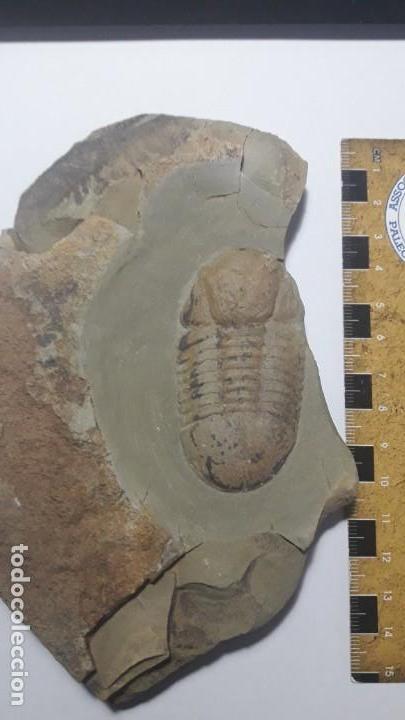 Coleccionismo de fósiles: FOSIL DE TRILOBITES SYMPHUSURUS. ORDOVICICO. MARRUECOS. - Foto 5 - 147824478