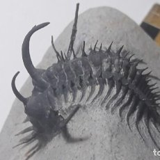 Coleccionismo de fósiles: FOSIL DE TRILOBITES QUADROPS FLEXUOSA. DEVONICO. MARRUECOS.. Lote 147905194