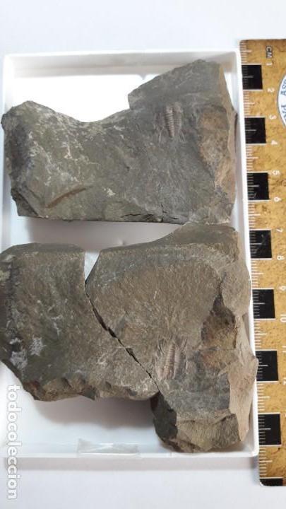 Coleccionismo de fósiles: FOSIL DE TRILOBITES LEHUA. ORDOVICICO. MARRUECOS. - Foto 4 - 149568070