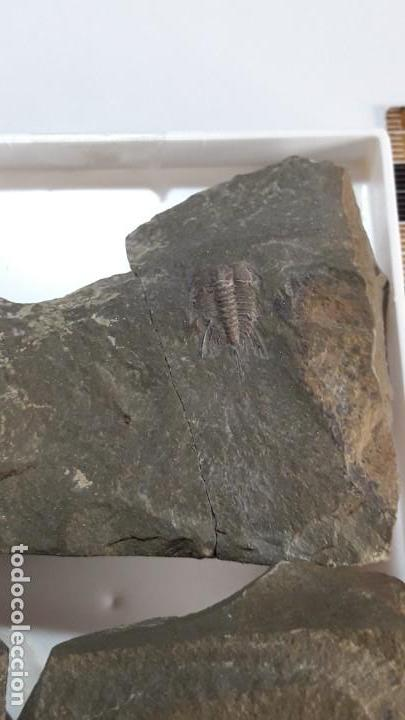 Coleccionismo de fósiles: FOSIL DE TRILOBITES LEHUA. ORDOVICICO. MARRUECOS. - Foto 5 - 149568070