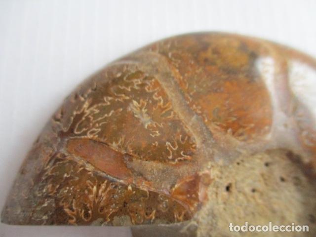 Coleccionismo de fósiles: FOSIL AMONITA CARACOL CORTADO POR LA MITAD. - Foto 4 - 151873258