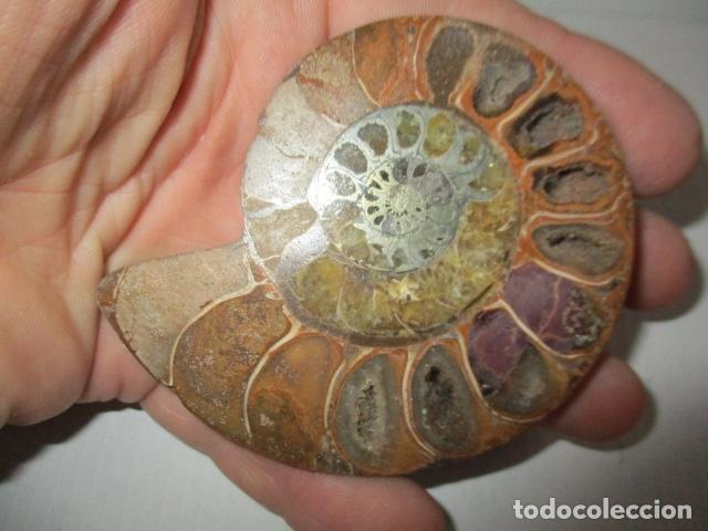 Coleccionismo de fósiles: FOSIL AMONITA CARACOL CORTADO POR LA MITAD. - Foto 6 - 151873258