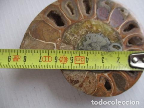Coleccionismo de fósiles: FOSIL AMONITA CARACOL CORTADO POR LA MITAD. - Foto 14 - 151873258