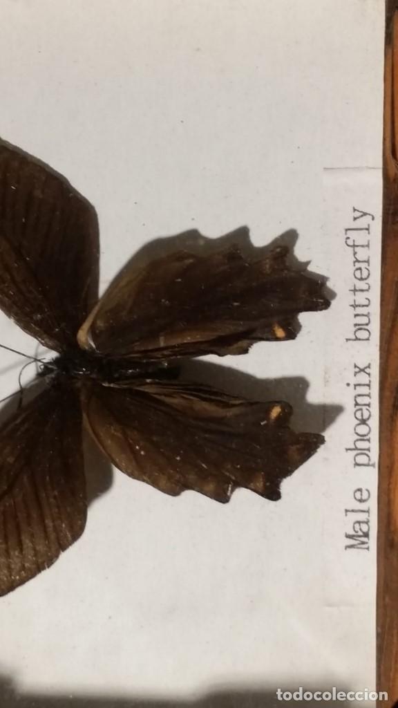 CUADRO CON MARIPOSA DISECADA, MALE PHOENIX BUTTERFLY (Coleccionismo - Fósiles)