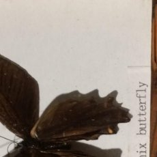 Coleccionismo de fósiles: CUADRO CON MARIPOSA DISECADA, MALE PHOENIX BUTTERFLY. Lote 153261018