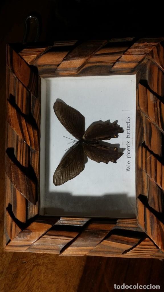 Coleccionismo de fósiles: cuadro con mariposa DISECADA, male phoenix butterfly - Foto 2 - 153261018