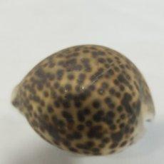 Coleccionismo de fósiles: CARACOLA. Lote 153305809