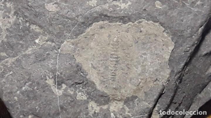 FOSIL DE TRILOBITES ARTHICOCEPHALUS CHAVEAUI. CAMBRICO. CHINA. (Coleccionismo - Fósiles)