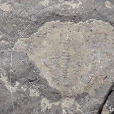 Coleccionismo de fósiles: FOSIL DE TRILOBITES ARTHICOCEPHALUS CHAVEAUI. CAMBRICO. CHINA.. Lote 153396142