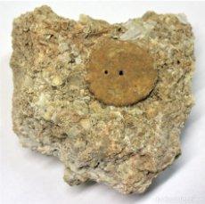 Coleccionismo de fósiles: ROTULOIDEA FIMBRATA. FÓSILES.. Lote 153109218