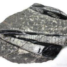 Coleccionismo de fósiles: ORTHOCERAS REGULARE. FÓSILES.. Lote 153110270
