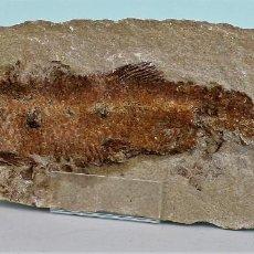 Coleccionismo de fósiles: PEZ FOSIL, THARRIAS ARARIPIS,CRETÁCEO INFERIOR, 260 X 105 X 35 MM. EXCELENTE CONSERVACIÓN. Lote 155349610