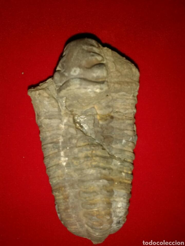Coleccionismo de fósiles: FÓSIL TRILOBITES - Foto 2 - 155754018