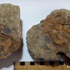 Coleccionismo de fósiles: FOSIL DE TRILOBITES ORNAMENTASPIS. CAMBRICO. MARRUECOS. MOLDE Y CONTRAMOLDE.. Lote 156051122