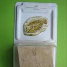 Coleccionismo de fósiles: FÓSIL DE COLECCION. Lote 158669930