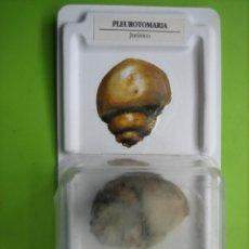 Coleccionismo de fósiles: FÓSIL DE COLECCION. Lote 158670514