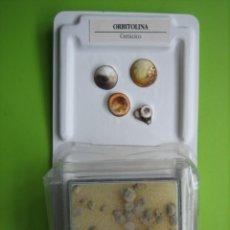 Coleccionismo de fósiles: FÓSIL DE COLECCION. Lote 158670634