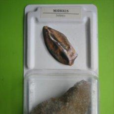 Coleccionismo de fósiles: FÓSIL DE COLECCION. Lote 158670778
