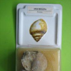Coleccionismo de fósiles: FÓSIL DE COLECCION. Lote 158671010
