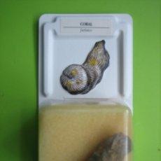 Coleccionismo de fósiles: FÓSIL DE COLECCION. Lote 158671338