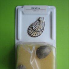 Coleccionismo de fósiles: FÓSIL DE COLECCION. Lote 158671710