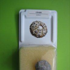 Coleccionismo de fósiles: FÓSIL DE COLECCION. Lote 158672238