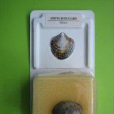 Coleccionismo de fósiles: FÓSIL DE COLECCION. Lote 158672338