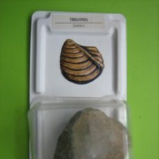 Coleccionismo de fósiles: FÓSIL DE COLECCION. Lote 158672554