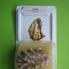Coleccionismo de fósiles: FÓSIL DE COLECCION. Lote 158672638