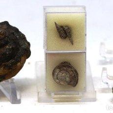 Coleccionismo de fósiles: LOTE DE 4 GASTERÓPODOS FÓSILES. - PLEUROTOMARIA + SCALA + OBORNELLA + CRYPTAULAX- JURÁSICO SUPERIOR. Lote 158854002