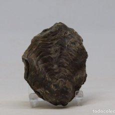 Coleccionismo de fósiles: FÓSIL DE UNA ENORME OSTRA COMPLETA - OSTREA NICAISEI , PRESERVADA EN AMBOS LADOS- CRETÁCICO SUPERIOR. Lote 158855590