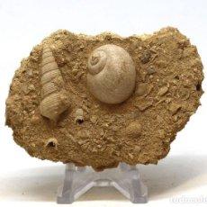 Coleccionismo de fósiles: EXCEPCIONAL ASOCIACIÓN FÓSIL DE CONCHAS Y CARACOL DE MAR EN LA MATRIZ ORIGINAL. Lote 158887678