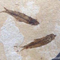 Coleccionismo de fósiles: PECES FÓSILES - EN LA MATRIZ ORIGINAL - KNIGHTIA EOCAENA - . Lote 158889814